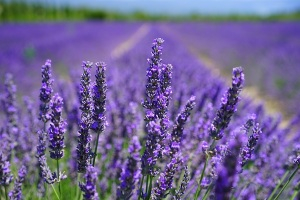 aroma-blooming-lavender-close-up-207518
