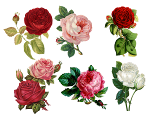 roses-1770165_1920